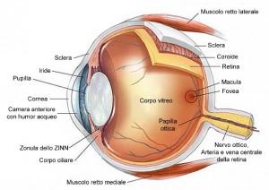 anatomia_occhio
